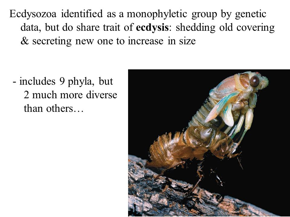 Ecdysozoa identified as a monophyletic group by genetic
