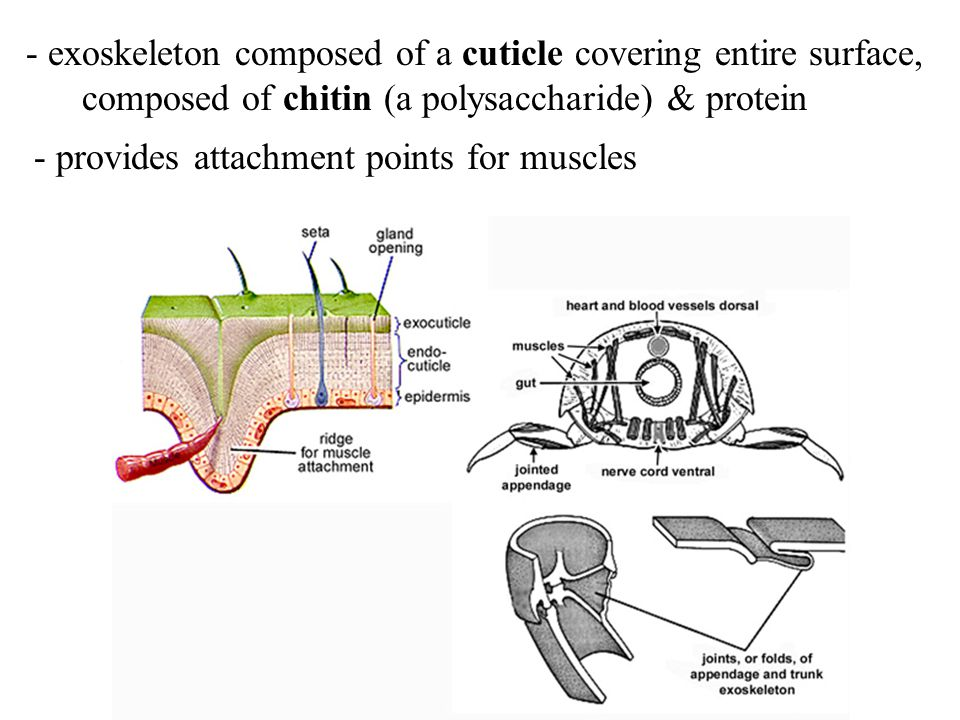 - exoskeleton composed of a cuticle covering entire surface,
