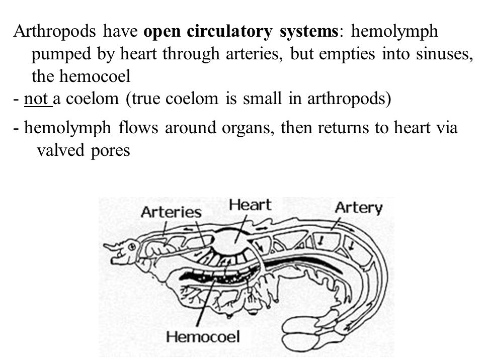 Arthropods have open circulatory systems: hemolymph