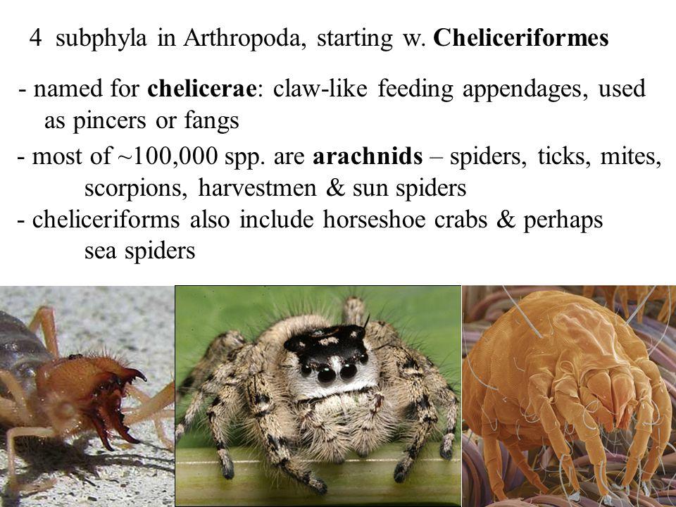 4 subphyla in Arthropoda, starting w. Cheliceriformes