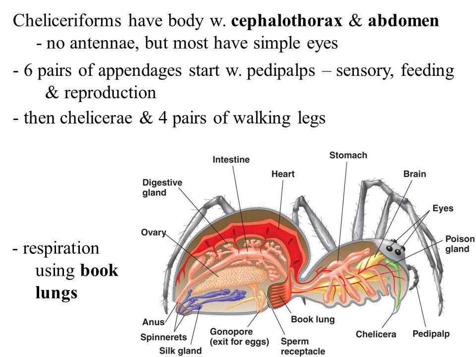 Cheliceriforms have body w. cephalothorax & abdomen