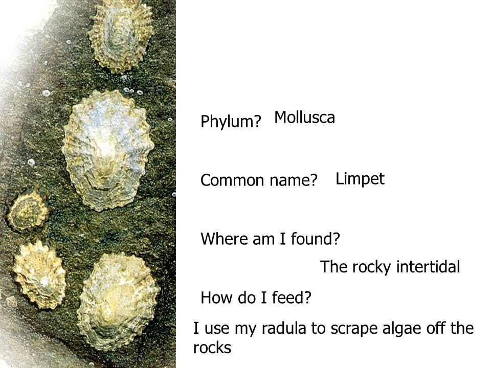 Mollusca Phylum Common name Where am I found How do I feed Limpet. The rocky intertidal. I use my radula to scrape algae off the.