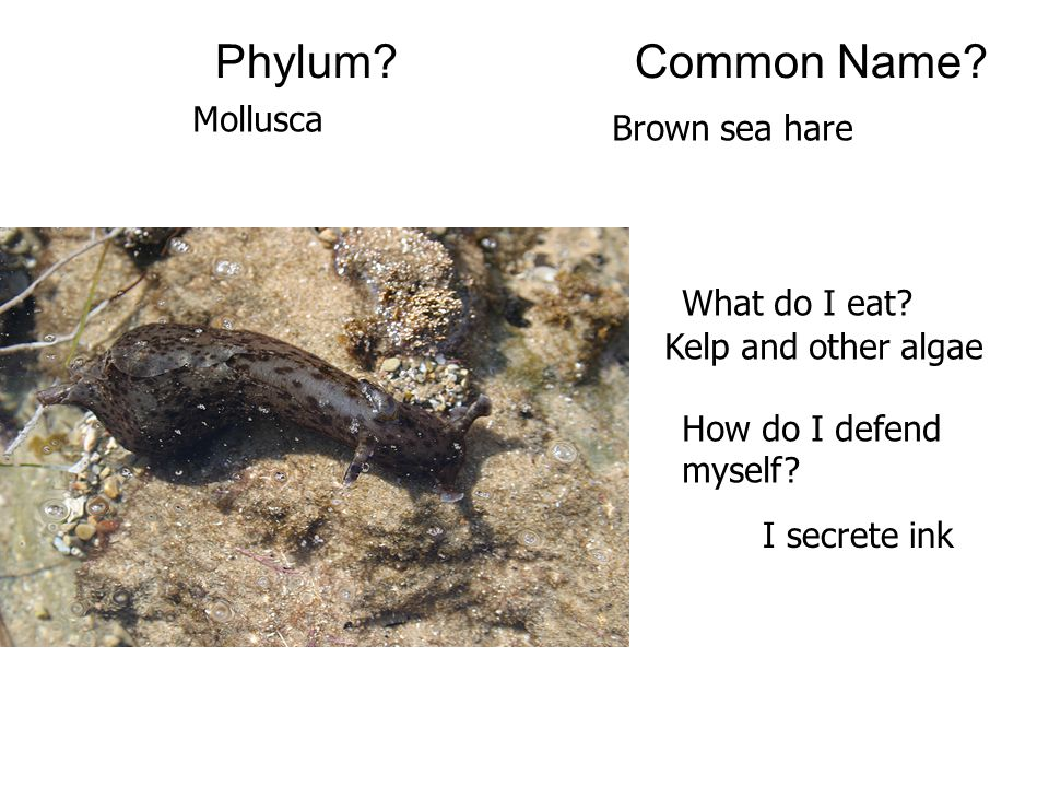 Phylum Common Name Mollusca Brown sea hare What do I eat