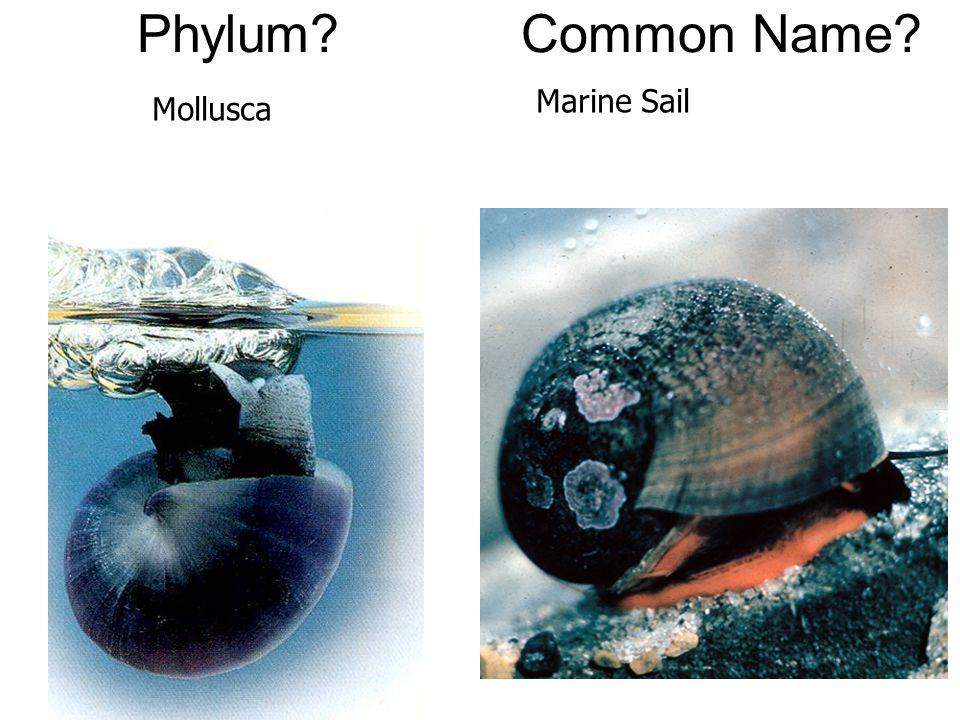 Phylum Common Name Marine Sail Mollusca