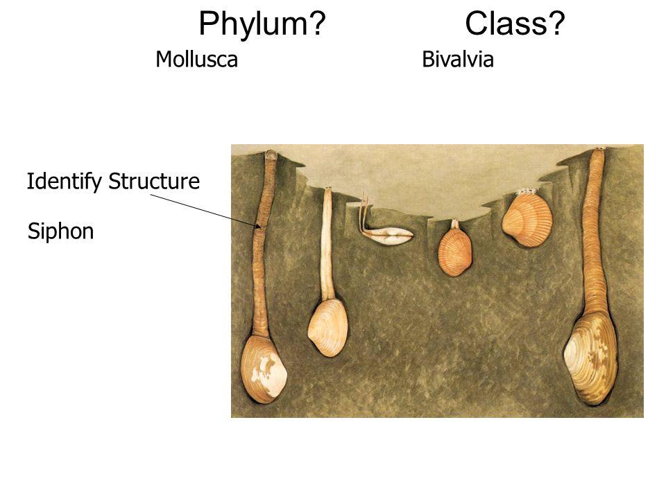 Phylum Class Mollusca Bivalvia Identify Structure Siphon