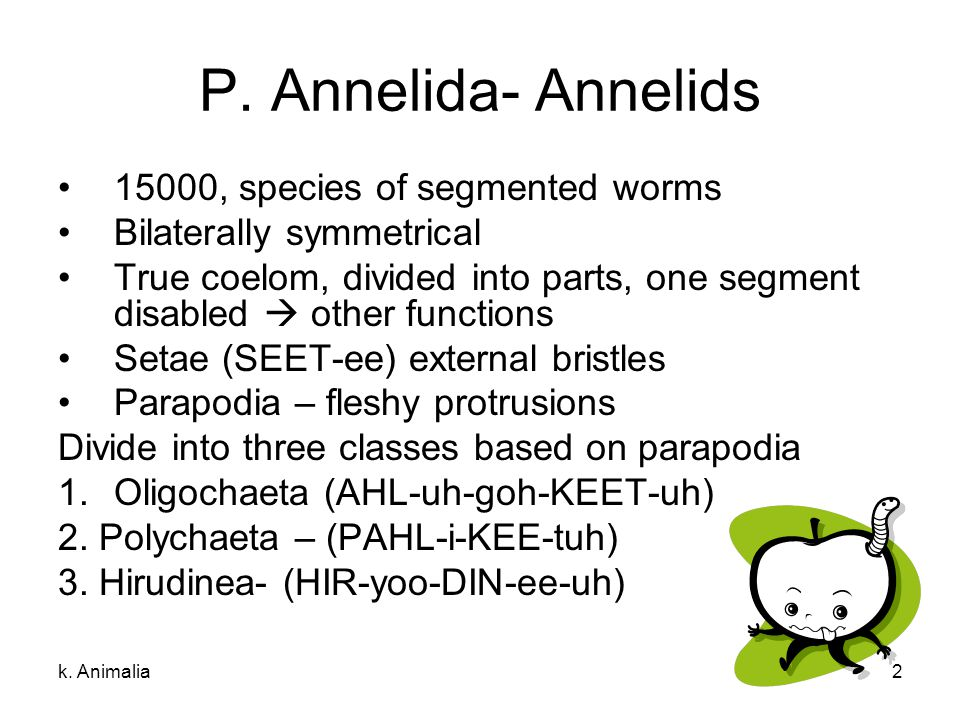 P. Annelida- Annelids 15000, species of segmented worms