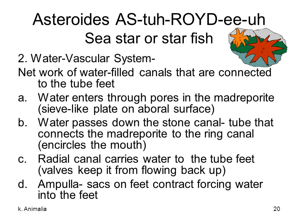 Asteroides AS-tuh-ROYD-ee-uh Sea star or star fish