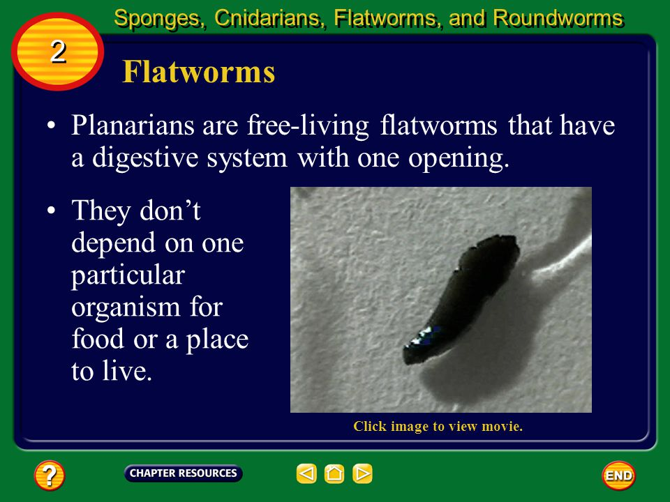Flatworms And Cnidarians Chapter: Invertebrate ...
