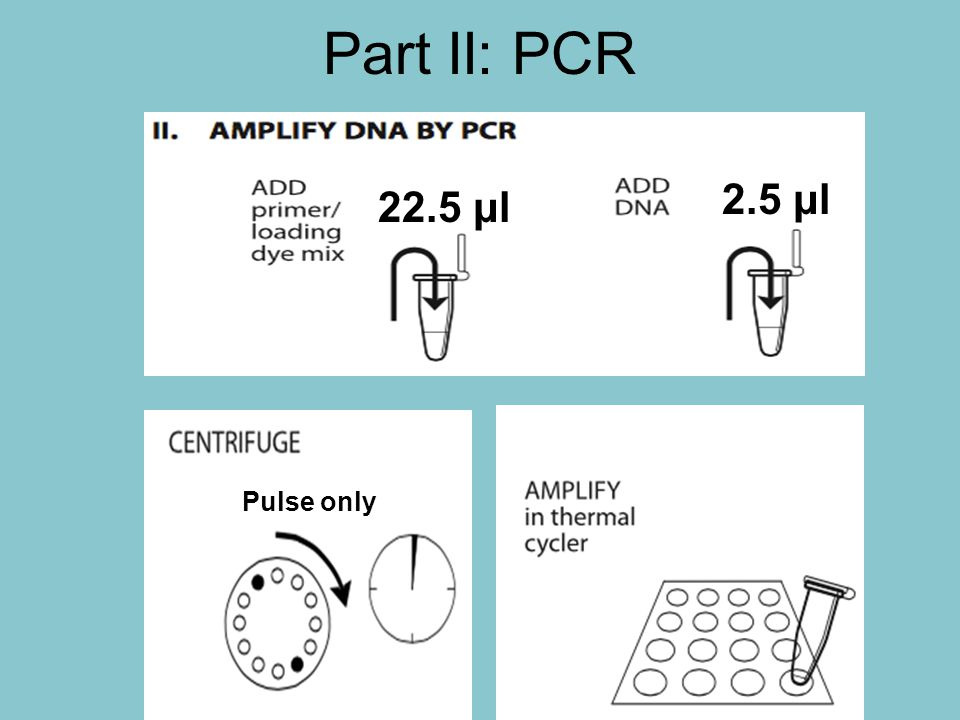 Part II: PCR 2.5 μl 22.5 μl Pulse only