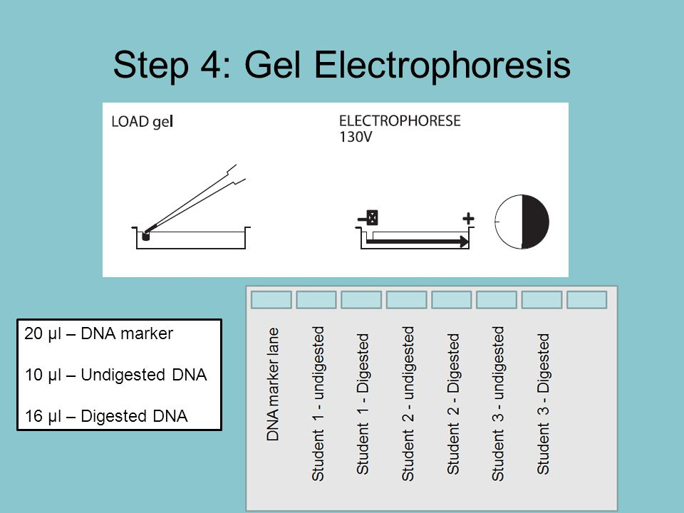 Step 4: Gel Electrophoresis