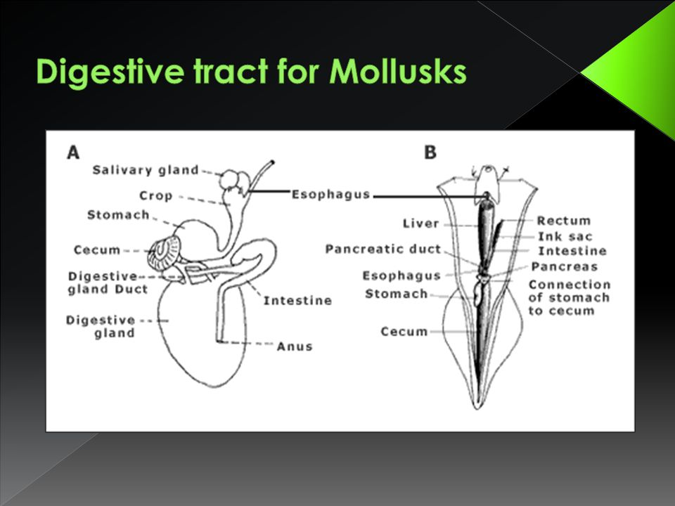 Digestive tract for Mollusks