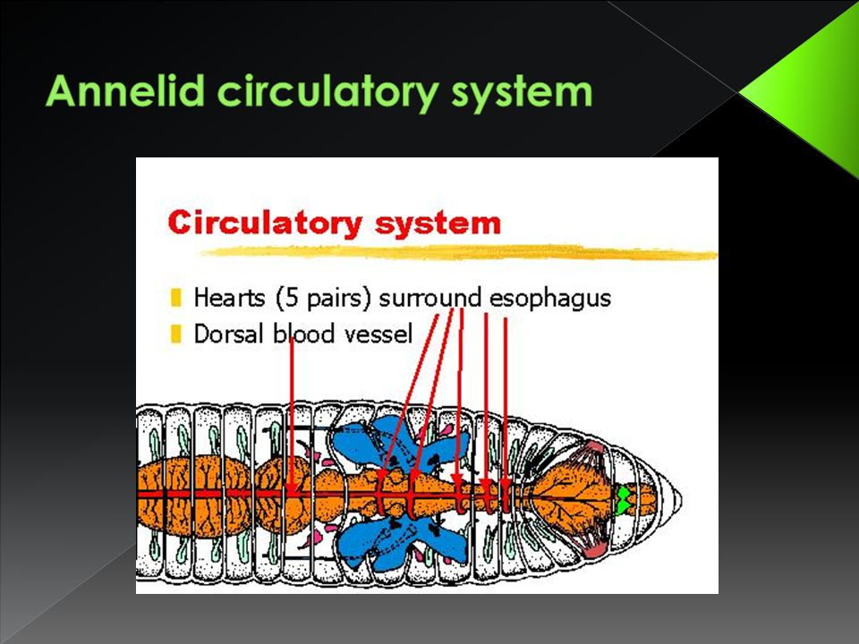 Annelid circulatory system