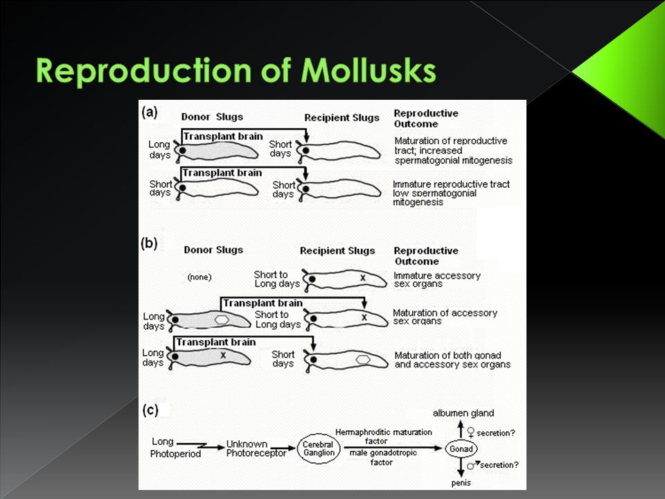 Reproduction of Mollusks