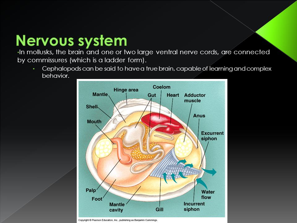Nervous system In mollusks, the brain and one or two large ventral nerve cords, are connected by commissures (which is a ladder form).