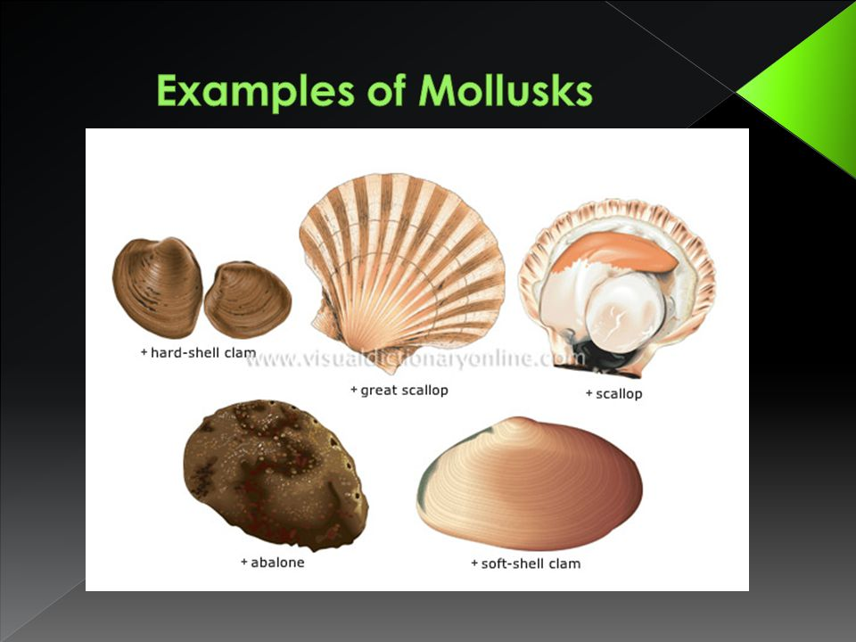 Examples of Mollusks