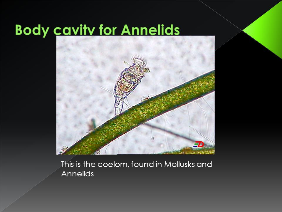 Body cavity for Annelids
