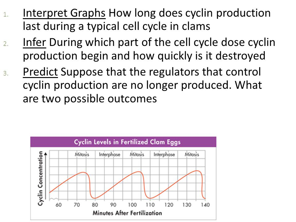 Interpret Graphs How long does cyclin production last during a typical cell cycle in clams