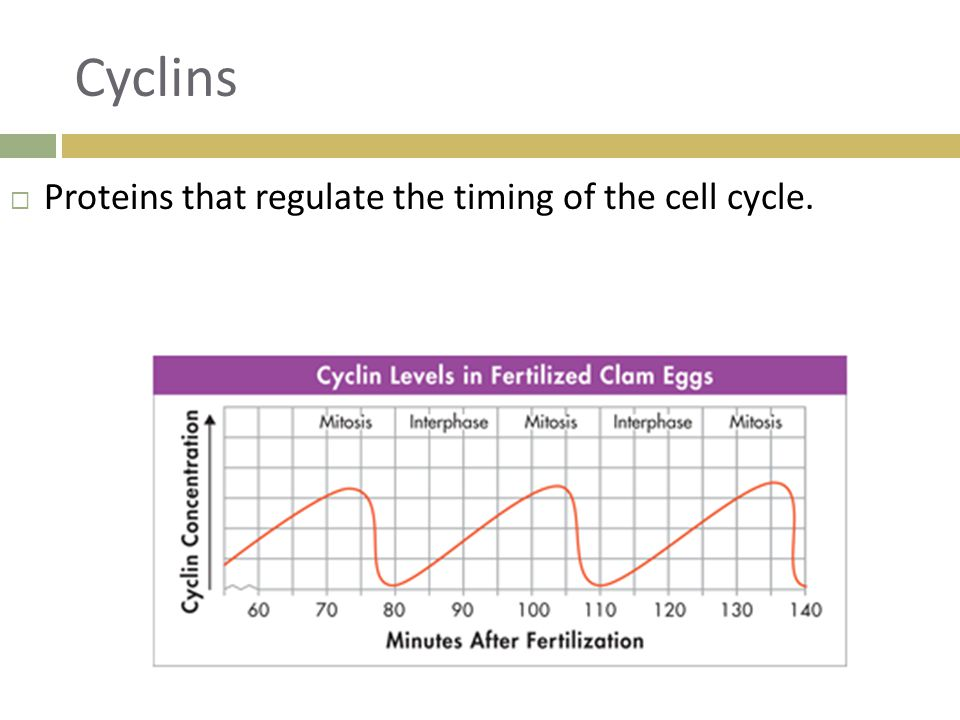 Cyclins Proteins that regulate the timing of the cell cycle.