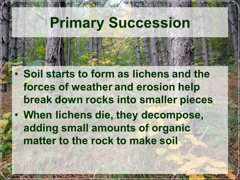 Primary Succession Soil starts to form as lichens and the forces of weather and erosion help break down rocks into smaller pieces.
