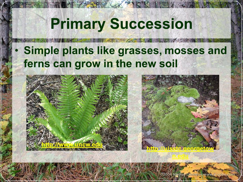 Primary Succession Simple plants like grasses, mosses and ferns can grow in the new soil. http://www.uncw.edu.