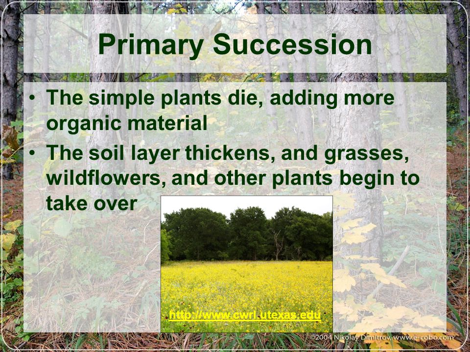 Primary Succession The simple plants die, adding more organic material