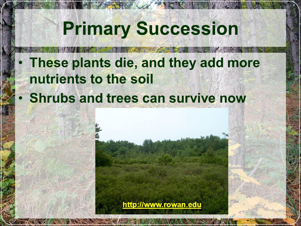 Primary Succession These plants die, and they add more nutrients to the soil. Shrubs and trees can survive now.