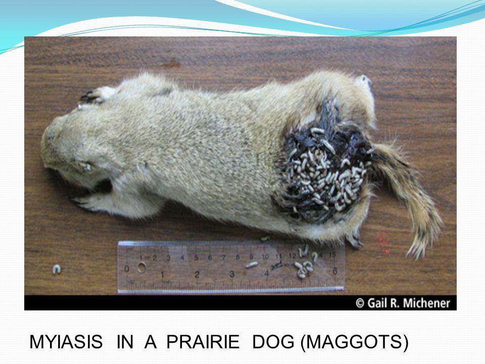 MYIASIS IN A PRAIRIE DOG (MAGGOTS)