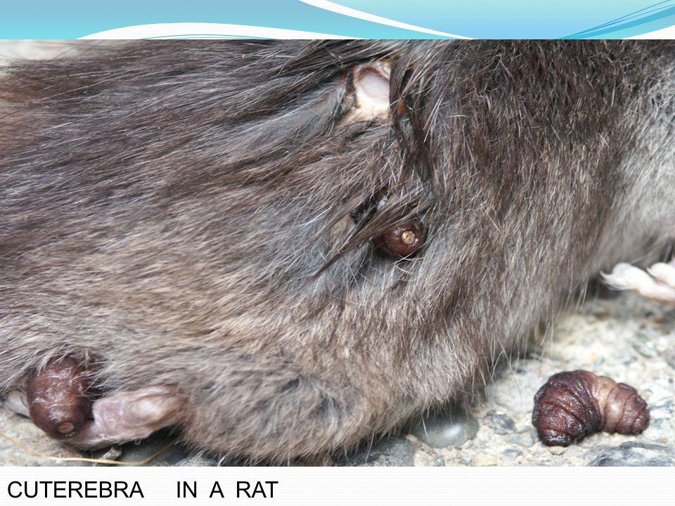 Cuterebra in a rat ( photo credit– naturalhealthtechniques.com )