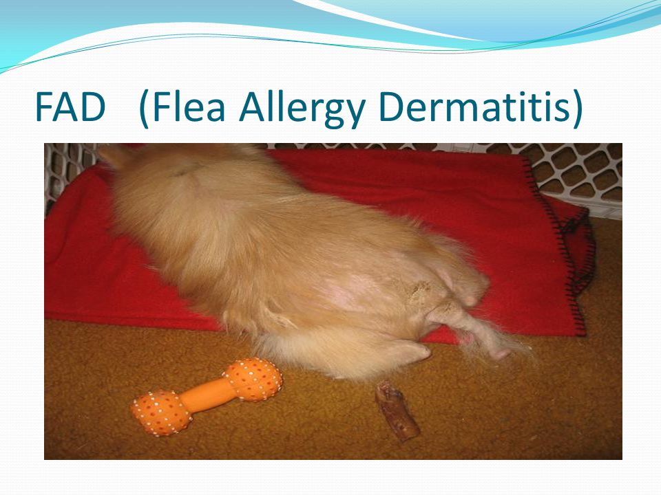 FAD (Flea Allergy Dermatitis)