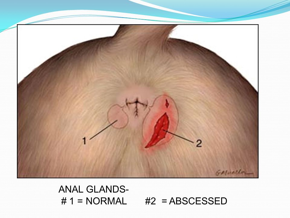 ANAL GLANDS- # 1 = NORMAL #2 = ABSCESSED
