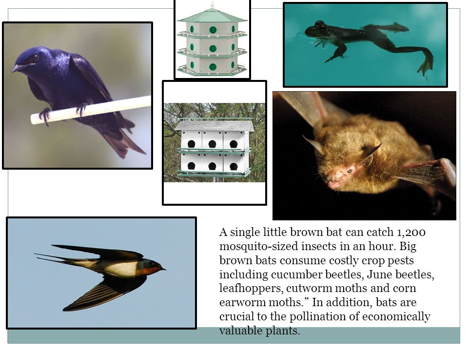 A single little brown bat can catch 1,200 mosquito-sized insects in an hour.