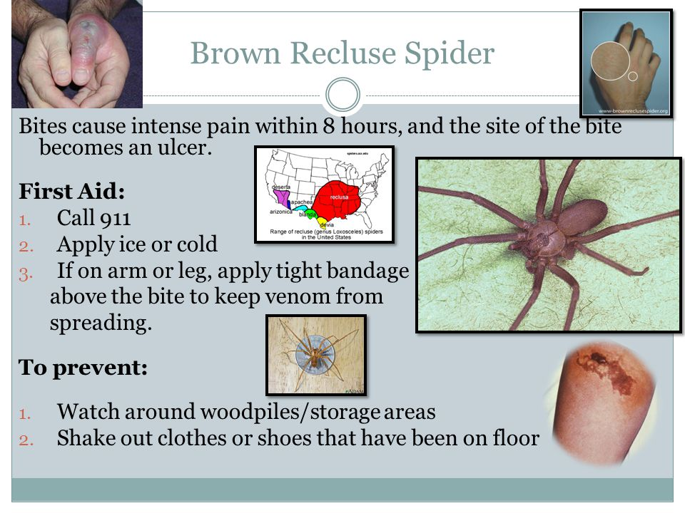Brown Recluse Spider Bites cause intense pain within 8 hours, and the site of the bite becomes an ulcer.