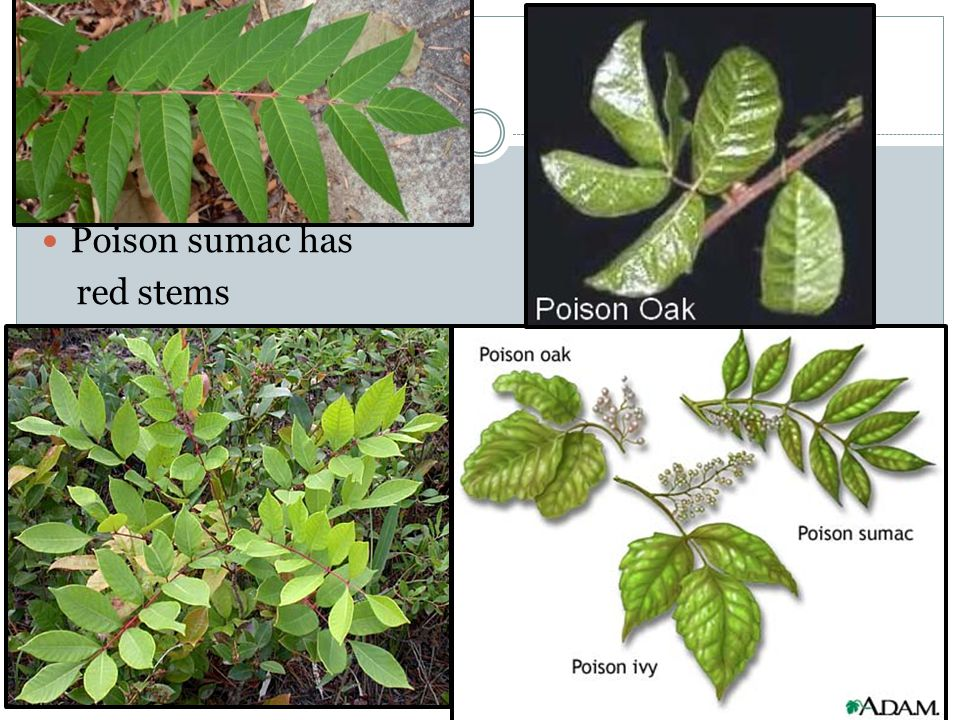 Poison sumac has red stems