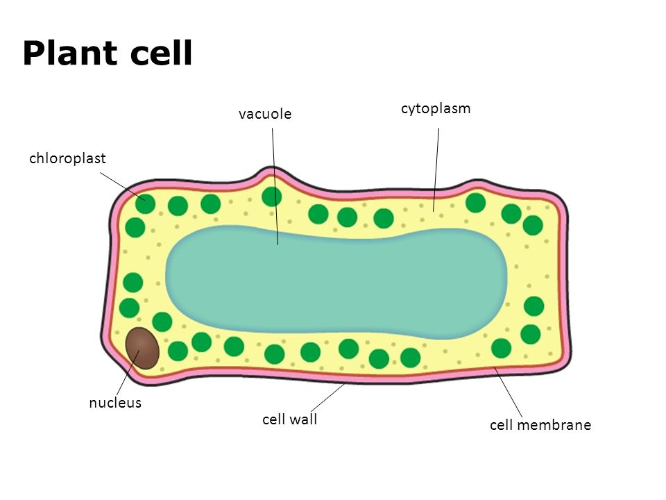 Picture Of Plant Cell Cytoplasm Images - How To Guide And ...