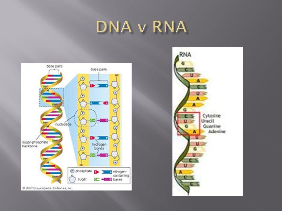 DNA v RNA