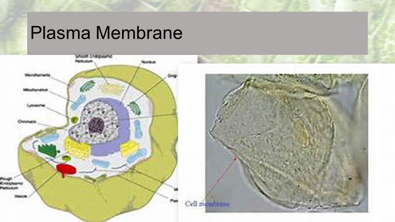 Plasma Membrane Cell Membranes Rap 3:40