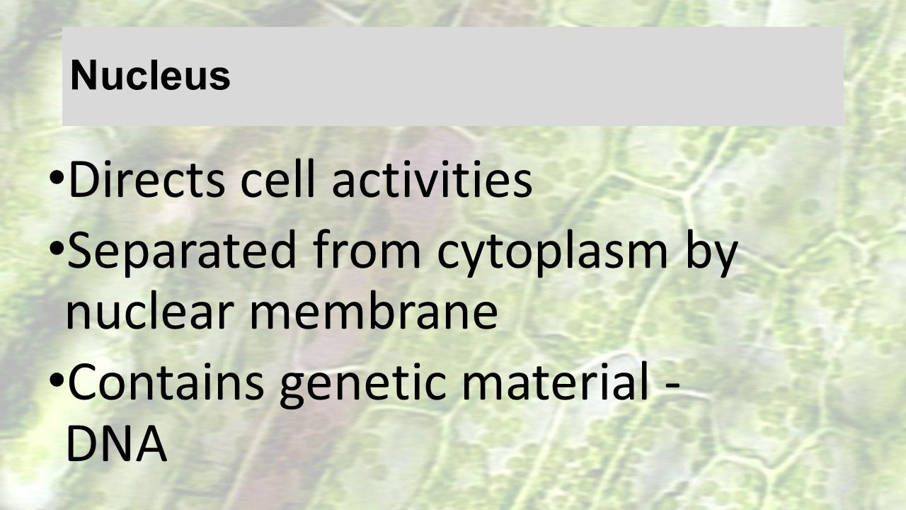 Directs cell activities Separated from cytoplasm by nuclear membrane