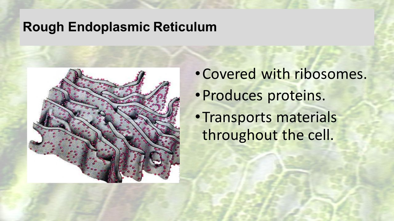 Rough Endoplasmic Reticulum