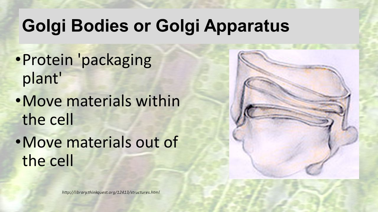 Golgi Bodies or Golgi Apparatus