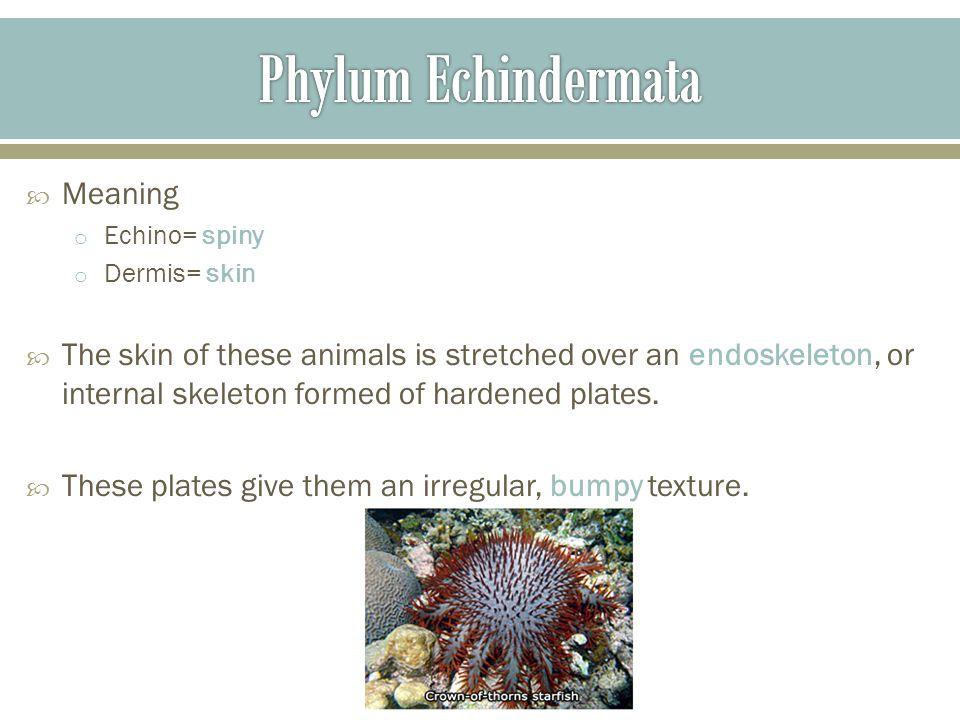 Phylum Echindermata Meaning