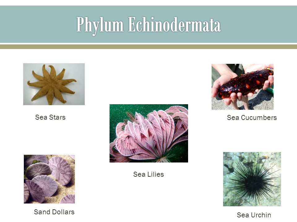 phylum echinodermata The echinoderm is of the phylum echinodermata, which is a phylum of marine animals this phylum includes about 70,000 living species such as sea stars, sea urchins, sand dollars, and sea cucumbers this number makes the echinodermata the largest phylum that has no freshwater of terrestrial representatives.