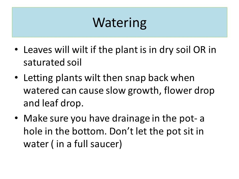 Watering Leaves will wilt if the plant is in dry soil OR in saturated soil.