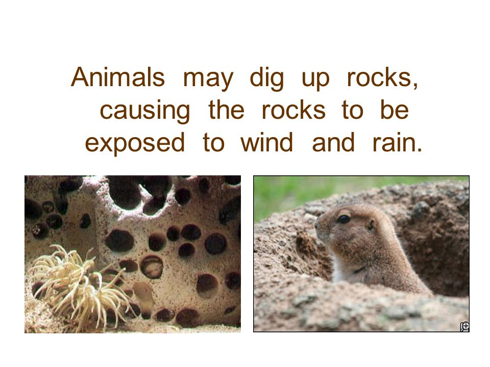 Animals may dig up rocks, causing the rocks to be exposed to wind and rain.