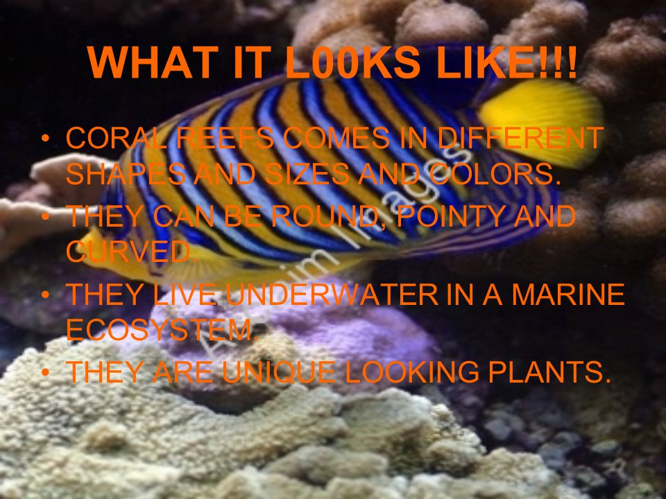 WHAT IT L00KS LIKE!!! CORAL REEFS COMES IN DIFFERENT SHAPES AND SIZES AND COLORS. THEY CAN BE ROUND, POINTY AND CURVED.