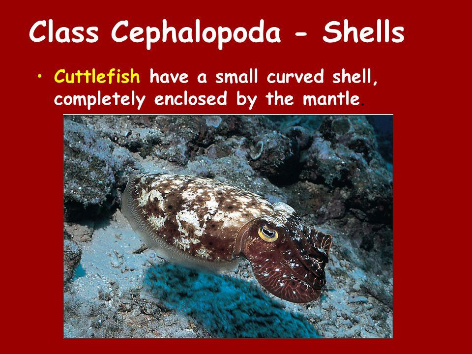 Class Cephalopoda - Shells