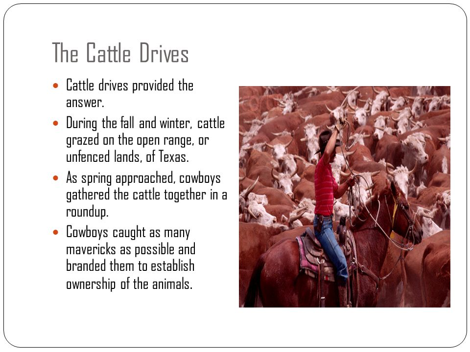 The Cattle Drives Cattle drives provided the answer.