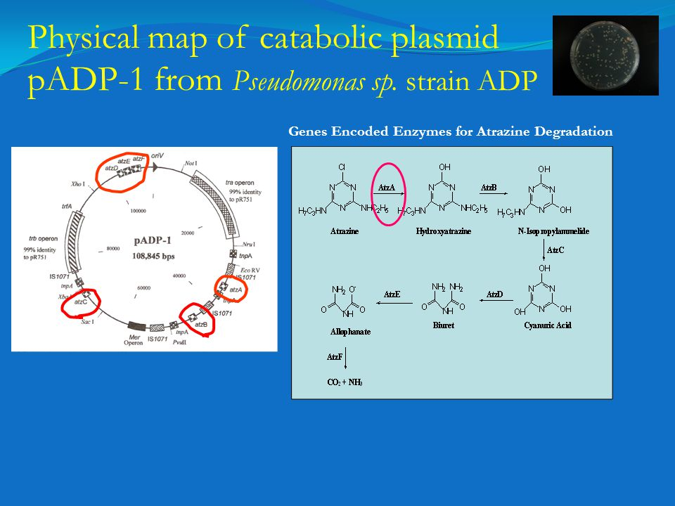 Physical map of catabolic plasmid pADP-1 from Pseudomonas sp