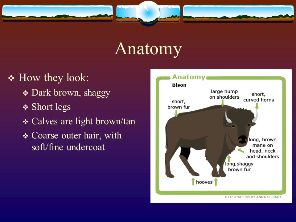 Anatomy How they look: Dark brown, shaggy Short legs