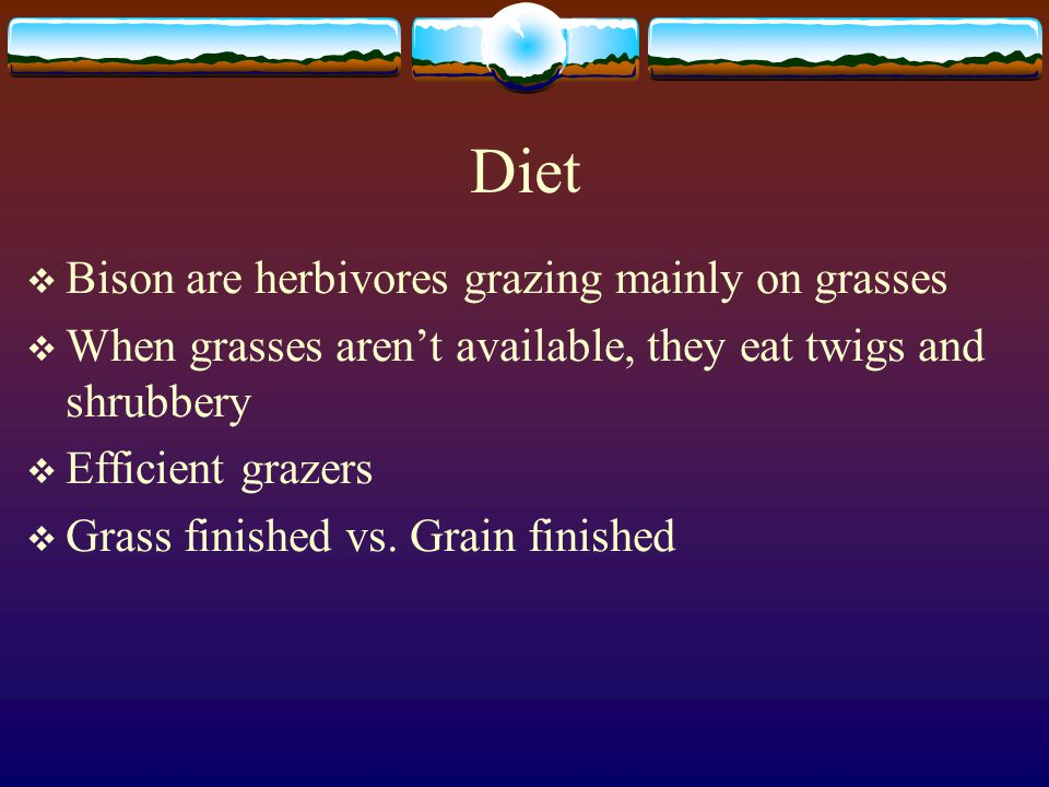 Diet Bison are herbivores grazing mainly on grasses