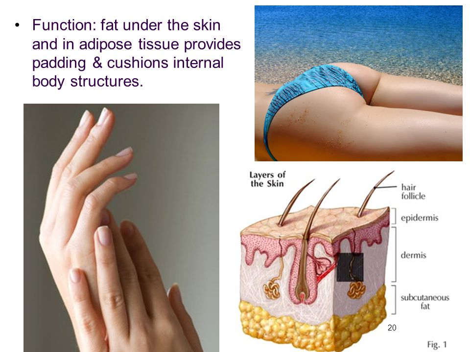 Function: fat under the skin and in adipose tissue provides padding & cushions internal body structures.